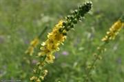 Репешок обыкновенный трава