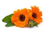 Календула, цветы
